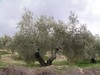 El olivo, la identidad de Jaen