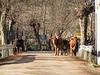 Vacas en m,edio de la carretera, en este pueblo tienen prioridad las vacas a los coches.