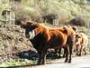 Toro en la ruta de las cinco villas de La Rioja