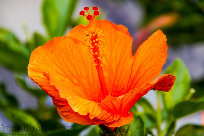 Bright Orange Hibiscus in a Garden