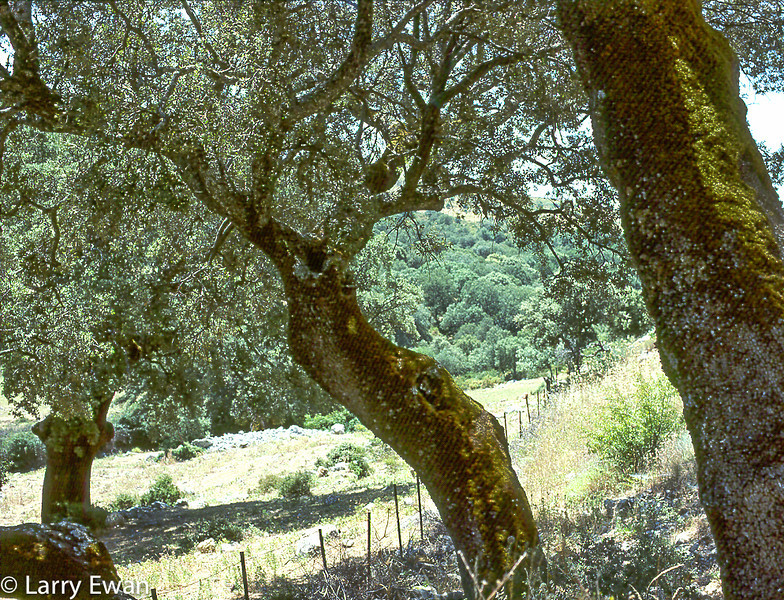 Cork Oaks in Extremadura, Spain - Stripes in the shadows caused by a CRAPPY HP slide scanner.  Will replace this scan with a new one soon.