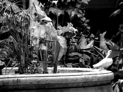 fountain dove