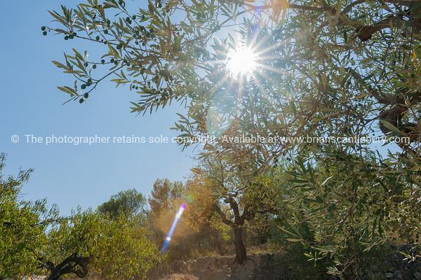 Sun through olive groves Castell de Castells, Spain.