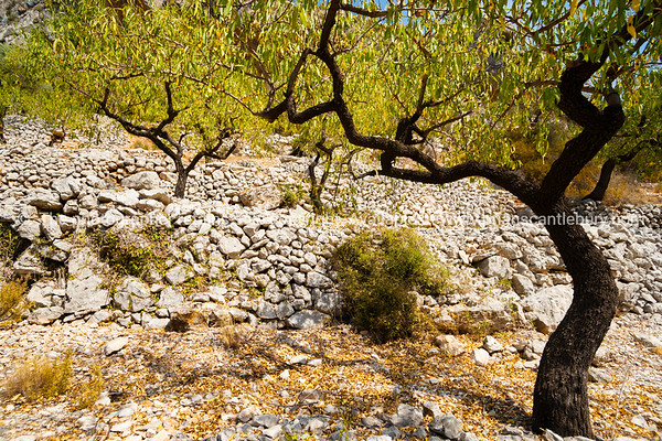 Wriggly dark barked stems of almond trees in autumn Val de Pop countryside, Spain.