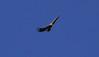Griffon vulture, Vall de Hecho (1)