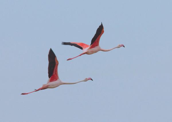 Flamingos near Malaga, Spain