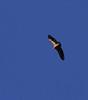 Griffon vulture, Vall de Hecho