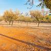 Almond grove Parcent, Spain