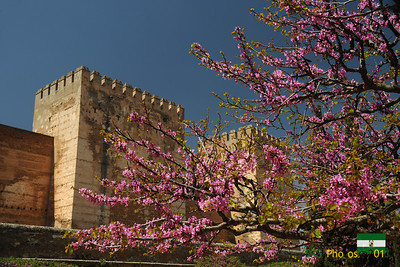Blossoms in front of the Alcazaba.  Alhambra.