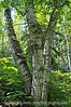 Birch; best viewed in the largest sizes