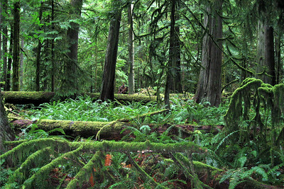 """Chathedral Grove"" on Vancouver Island"