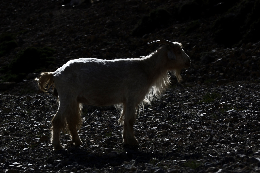 Silhouette of a Pashmina Goat