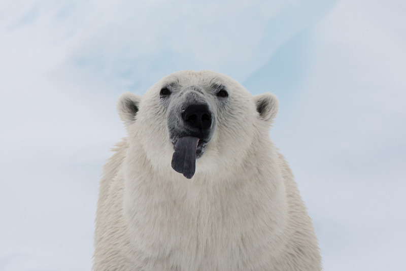 Polar bears use their tongues to help them pick up scents.  And to make fun of photographers.