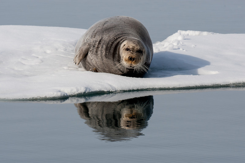 Bearded seal, with a friendly smile