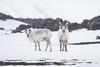 Reindeer in a snowstorm