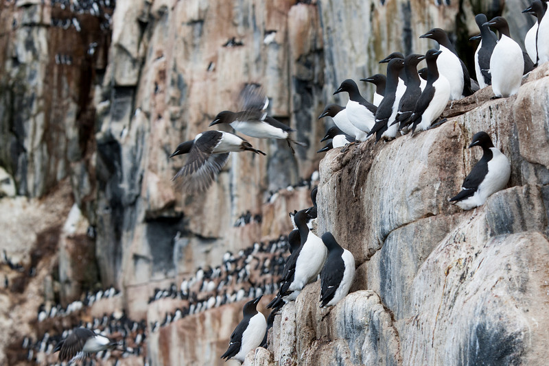 Guillemot colony