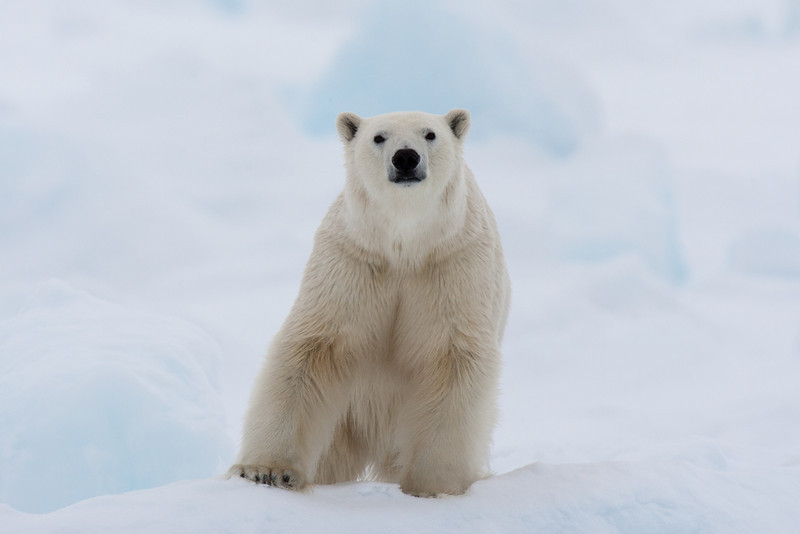A curious polar bear