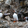 Atlantic Puffins close to 14th July Glacier.