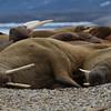 Walruses at Sorgfjorden, Spitsbergen
