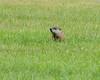 Groundhog or Woodchuck. Near the Donora Smog Museum, Donora, Washington County, PA, 10-3-13.