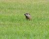 Groundhog or Woodchuck. Near the Donora Smog Museum, Donora, Washington County, PA, 10-3-13.