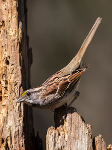 ATL Songbird Workshop, Greensboro, NC White Throated Sparrow