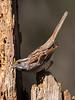 ATL Songbird Workshop, Greensboro, NC<br /> White Throated Sparrow