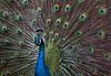 Sylvan Heights Peacock