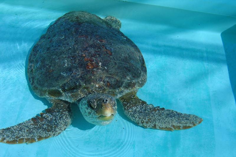 Loggerhead Marinelife Center - Sea Turtle rehab