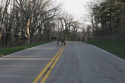 Deer, Skyline Drive, Shenandoah National Park