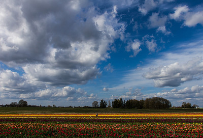 Skies and Tulips