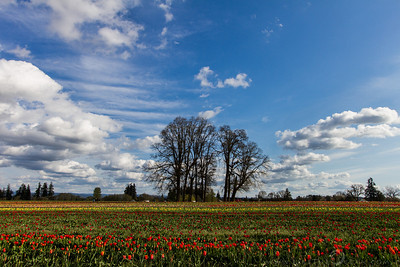 Tulips and the Tree