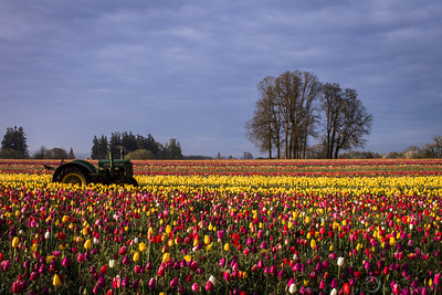 Tractor and Tulips