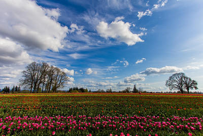 Tulip Fields at bloom