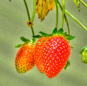 home grown strawberries, sweet like sugar, hanging off my deck in the buckets