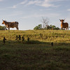 Horned cattle on the skyline. Seen from the Wilson's Creek Greenways Trail, SW of Springfield, MO.
