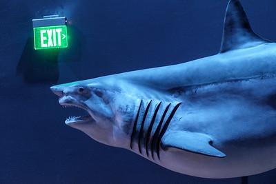 blue_shark-t10201