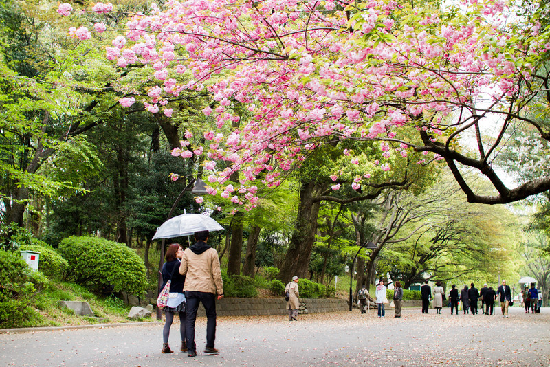 A couple walks under a blooming sakura tree in Ueno Park