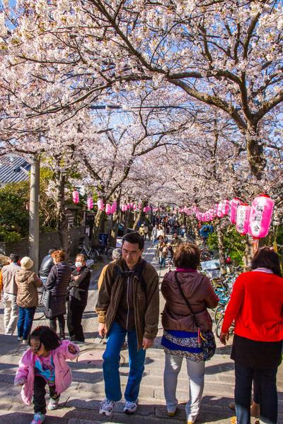 Street full of sakura blossoms in Kanazawa Bunko