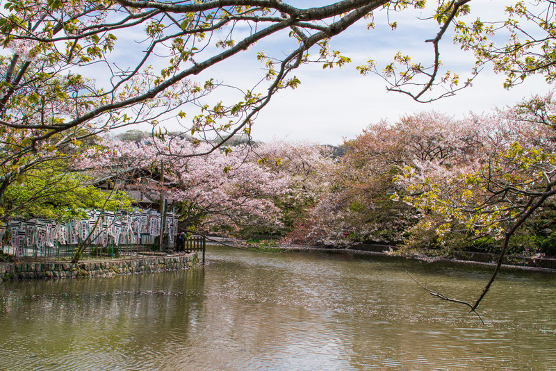 A beautiful sakura lined lake at Hachiman-gu shrine