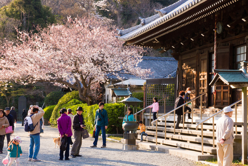 Sakura blossoms at a temple near Kanazawa Bunko.