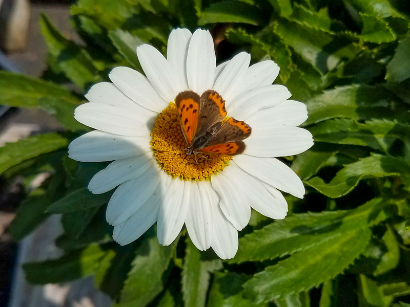 Summer daisy with American Copper butterfly