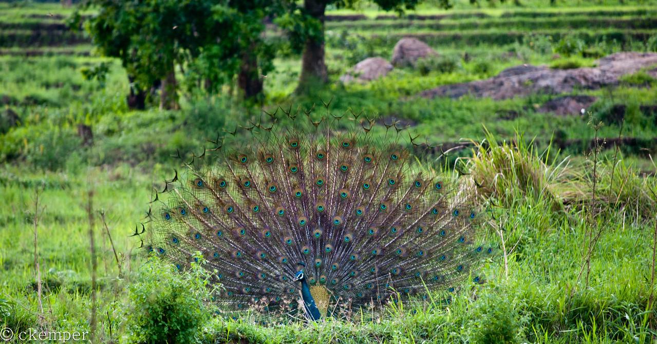 Peafowl strutting his stuff