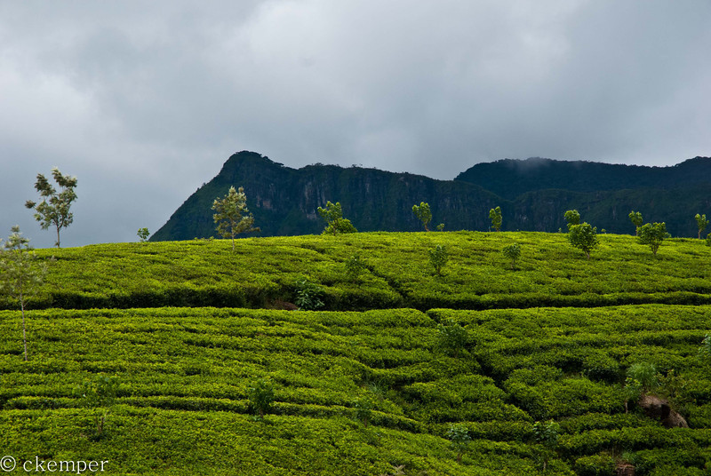 Tea Plantation<br /> Sri Lanka