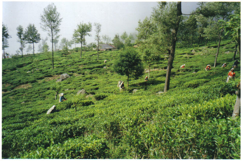 Tamils picking tea.