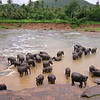 Pinnawela elephant orphanage in Sri Lanka
