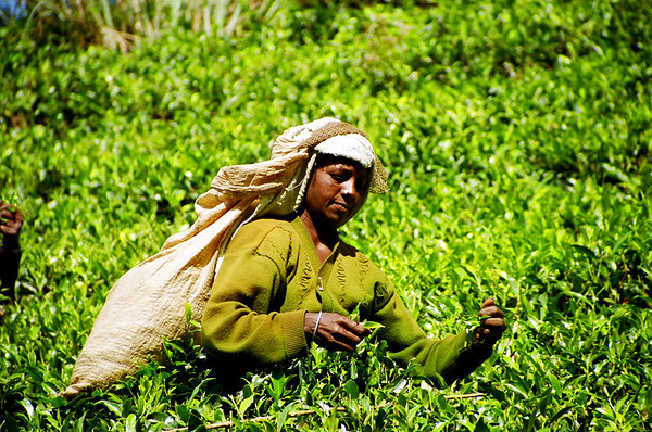 Picking tea leaves, Nuwara Eliya