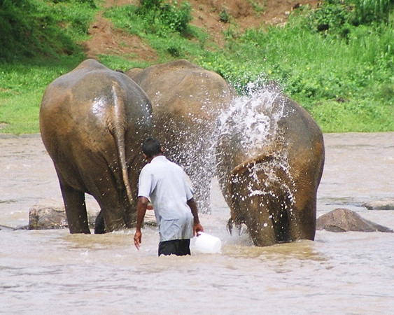 At the Pinnawala Elephant Orphanage - bath time for the elephants
