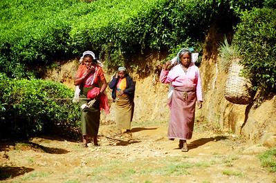 Picking tea leaves, Nuwara Eliya