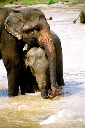 Pinnawala Elephant Orphanage - bath time